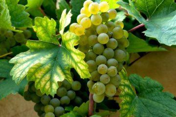Pinot Gris-virus ontdekt in Australië