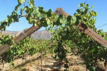 Distell verkoopt deel wijngaarden