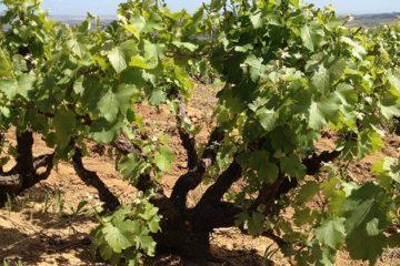 Erkenning voor oude wijnstokken