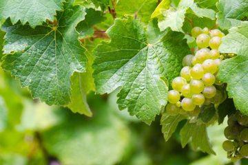 Duitse wijnoogst al begonnen