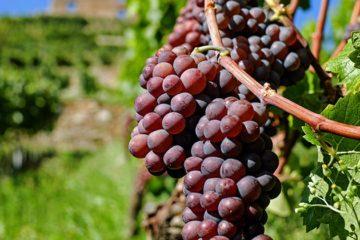 Steeds meer druiven