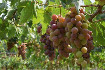 Franse wijnbranche snakt naar hulp