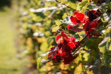 Gran Vino de Rueda beleeft eerste oogst