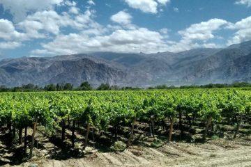 Argentinië oogst minder druiven