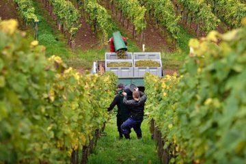 Duitse wijncultuur op erfgoedlijst