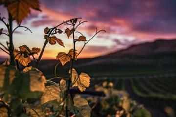 Wijngaarden Californië nauwelijks meer te verzekeren