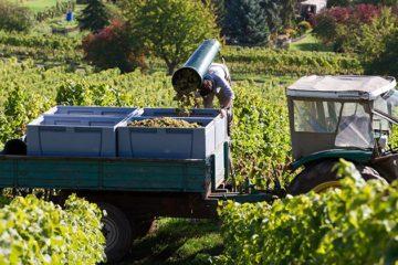 Minder wijnmakerijen, maar meer wijnbouwgrond in Duitsland