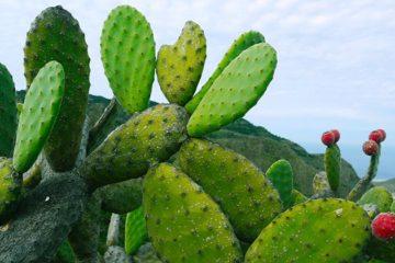 Meneer Kaktus