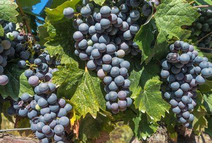 Rioja voert actie voor eerlijke druivenprijs